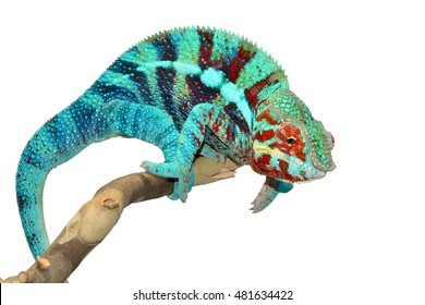 Panther Chameleon - Ambanja - Furcifer Pardalis