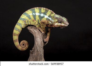 Panther Chameleon with black background