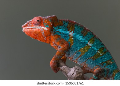 Panther Chameleon Body profile photo