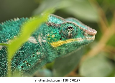 Panther Chameleon is brightly colorful chameleons that are indigenous in tropical forest