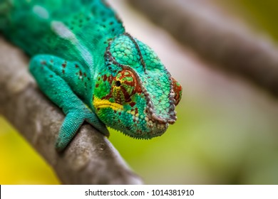 Panther chameleon, endemic reptile of Reunion, Mauritius and Madagascar islands.
