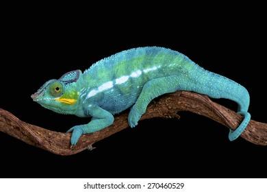 Panther chameleon (Furcifer paradise)