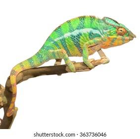 Panther Chameleon - Furcifer Pardalis - Ambanja Male
