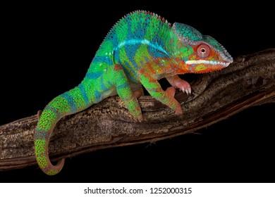Panther chameleon (Furcifer pardalis) Ambilobe
