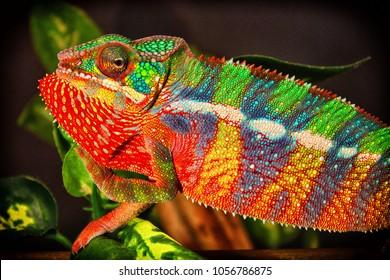 Panther Chameleon (Furcifer pardalis) Locale Ambilobe