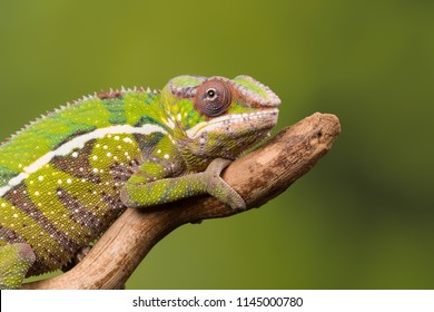Panther Chameleon or Furcifer pardalis from Madagascar on a tree branch