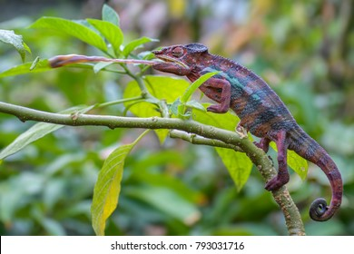 Panther Chameleon - Furcifer pardalis, Madagascar - hunting insect for the food.