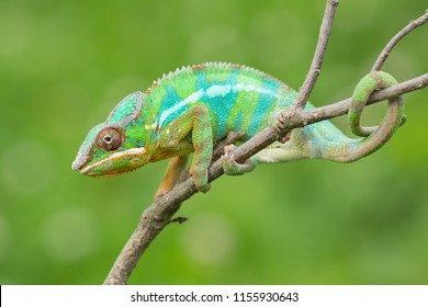Panther chameleon (Furcifer pardalis) is a species of chameleon found in the eastern and northern parts of Madagascar in a tropical forest biome.