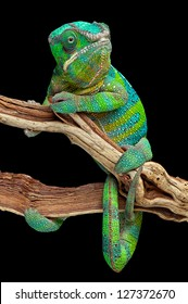A panther chameleon has wrapped himself around a branch.