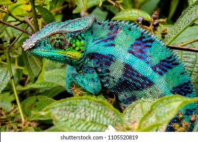 Panther Chameleon (lat. Furcifer pardalis) Madagascar