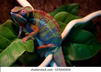 Panther Chameleon, Lizard, Exotic, Wild