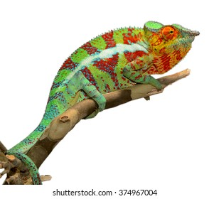 Panther Chameleon - Male - Furcifier Pardalis - Ambanja