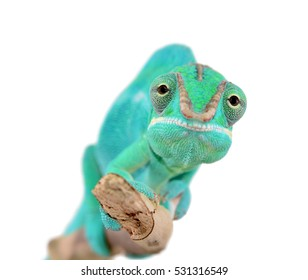 Panther Chameleon - Male - Furcifier Pardalis - Nosy Be