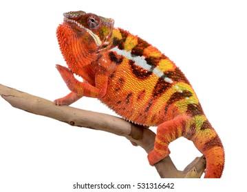 Panther Chameleon - Male - Furcifier Pardalis - Sambava