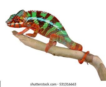 Panther Chameleon - Male - Furcifier Pardalis - Ambilobe