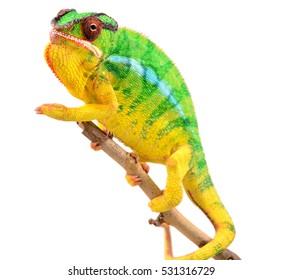 Panther Chameleon - Male - Furcifier Pardalis - Nosy Mitsio