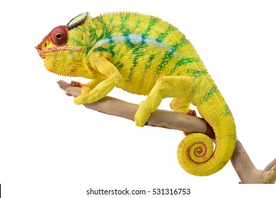 Panther Chameleon - Male - Furcifier Pardalis - Nosy Mitsio
