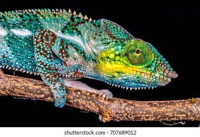 A Panther chameleon on black background.