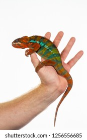 Panther Chameleon on persons hand against white backgroud