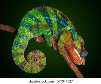 A panther chameleon is sleeping and displaying his night time colors.
