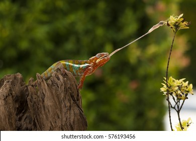 Panther Chameleon trying to get a mantis for his food