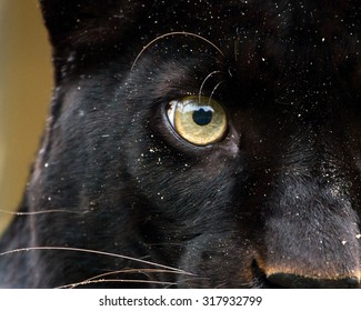 Panther eye detail