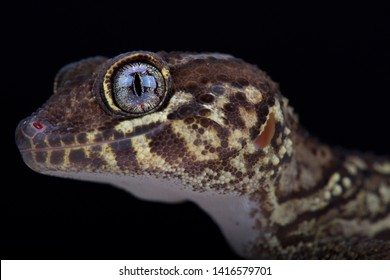 The Panther gecko (Paroedura picta) is beautiful, nocturnal, lizard species from Madagascar.