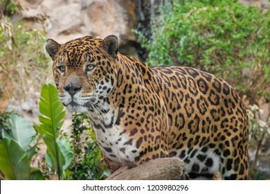 panther / jaguar closeup - (Panthera Onca)