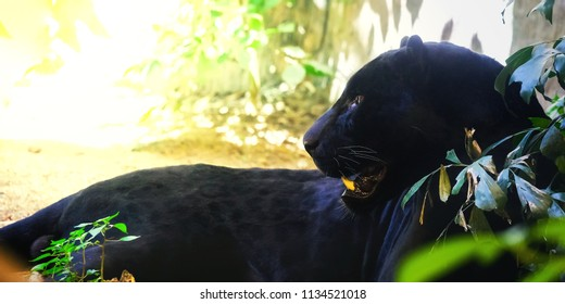 Panther with morning sunset Sit on the floor Space for font