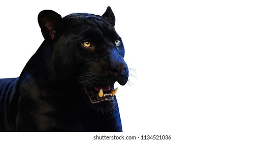 Panther with on a white background space for font