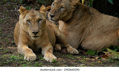 Panthera leo leo is a lion subspecies, which is present in West Africa, northern Central Africa and India. In West and Central Africa it is restricted to fragmented and isolated populations.