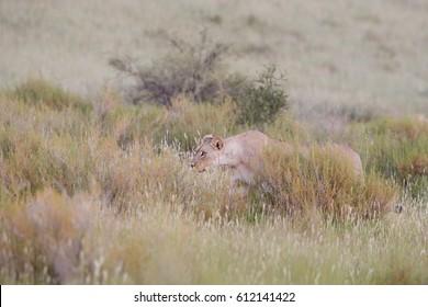 Panthera leo vernayi,  Kalahari lion, lioness on hunt in early mornings Kalahari desert, against dunes covered in grass. Wild animal in its environment. Kgalagadi national park,  South Afrika.