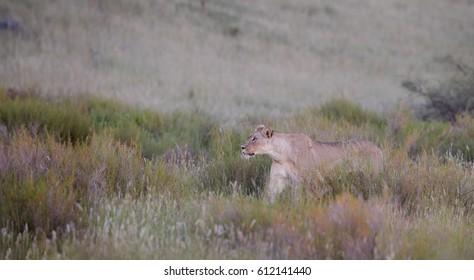 Panthera leo vernayi,  Kalahari lion, lioness on hunt in early mornings Kalahari desert, against dunes covered in grass. Panoramic photo, wild animal. Kgalagadi national park, march, South Afrika.