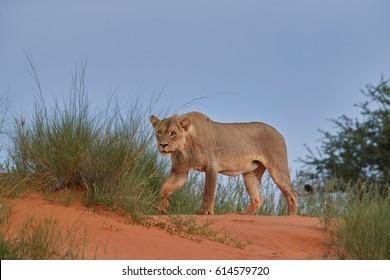 Panthera leo vernayi, Kalahari lion, close up, wild animal on hunt, focused on prey. Desert lion in typical environment of Kalahari. Lion in red desert landscape.Kgalagadi transfrontier park, Africa.