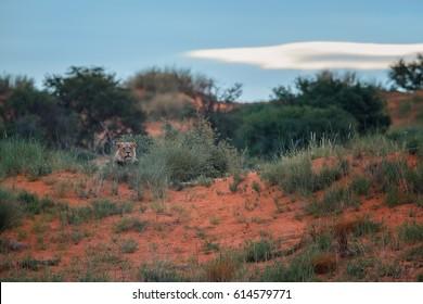 Panthera leo vernayi,  Kalahari lion,  watching valley from top of the red dune. Black mane lion in typical environment of Kalahari desert. Lion in red desert landscape. Kgalagadi transfrontier park.
