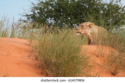 Panthera leo vernayi, Kalahari lion, close up, wild animal on hunt, focused on prey. Desert lion in typical environment of Kalahari. Lion in red desert landscape.Kgalagadi national park, South Africa.