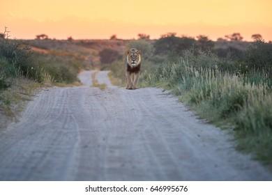 Panthera leo vernayi,  Kalahari lion, black mane lion in typical environment of Kalahari desert, walking on the sandy road toward at camera. Lion in red desert landscape. Kgalagadi , Botswana.