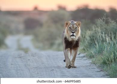 Panthera leo vernayi,  Kalahari lion, black mane lion in typical environment of Kalahari desert, walking on the sandy road toward at camera. Lion on the road in desert landscape. Kgalagadi , Botswana