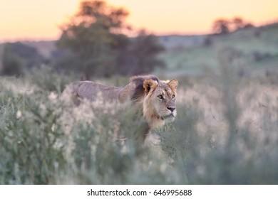 Panthera leo vernayi,  Kalahari lion, black mane lion in typical environment of Kalahari desert. Nosing lion focused on lioness. Lion in sunset landscape. Kgalagadi desert, Botswana