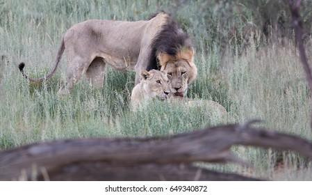 Panthera leo vernayi,  Kalahari lion, black mane lion and lioness in typical environment of Kalahari desert. Mating pair of lions. Lions in rain. Kgalagadi transfrontier park, Botswana