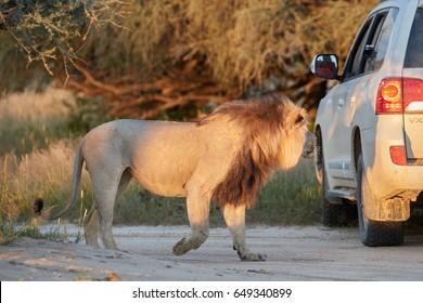 Panthera leo vernayi,  Kalahari lion, black mane lion watching tourists in the car. Lion in sunset next to tourists car. Kgalagadi desert, Polentswa, Botswana.