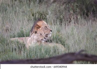 Panthera leo vernayi,  Kalahari lion, black mane lion and lioness in typical environment of Kalahari desert. mating pair of lions. Lion in Kalahari landscape. Kgalagadi transfrontier park, Botswana
