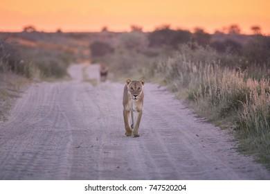 Panthera leo vernayi, Kalahari lion, lioness walking on the sandy road toward at camera followed by black mane lion in typical environment of Kalahari desert. Lion desert landscape.Kgalagadi,Botswana.