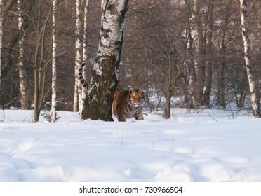 Panthera tigris altaica - Amur tiger walking in the snow. Action wildlife scene with danger animal