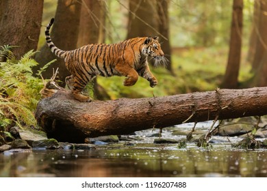 Panthera tigris tigris jumping to tree across creek
