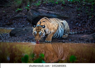 Panthera Tigris quenching thirst at a Water hole in Tadoba Tiger Reserve, India