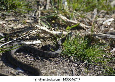 Pantherophis obsoletus – also known as the western rat snake, black rat snake, pilot black snake, or simply black snake – is a non-venomous species of Colubridae