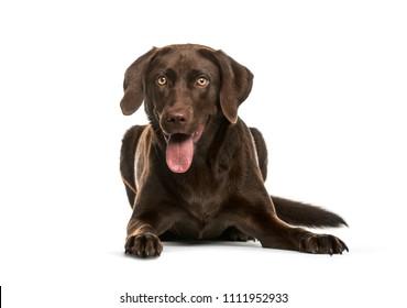 Panting chocolate Labrador Retriever dog lying down on a white background