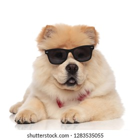 panting chow chow wearing sunglasses and bowtie looks to side while resting on white background