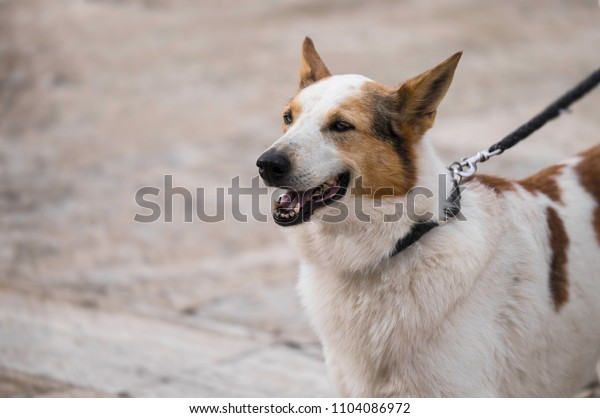 Panting dog on belt. Space for text at left side of the photo